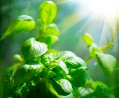 Fresh basil leaves. Green flavoring outdoor. Close up of  Basil growing in garden. Nature healthy Ba poster