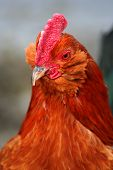 pic of banty  - Closeup of a banty rooster chicken bird fowl - JPG