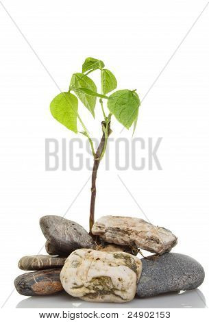 Seedling In Pebbles