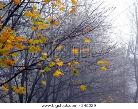 Last Maple Leaves In The Fog