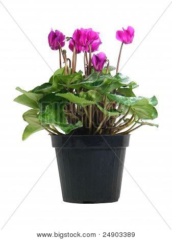 Potted Cyclamen Persicum
