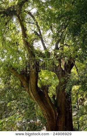 Montezuma Cypress Tree