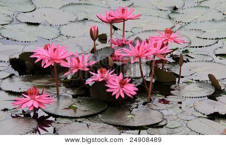 Rosa Lotusblüten