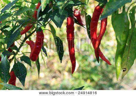 Planta de pimiento rojo