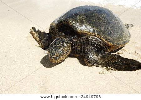Large sea turtle.