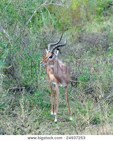 Africa Wildlife: Impala