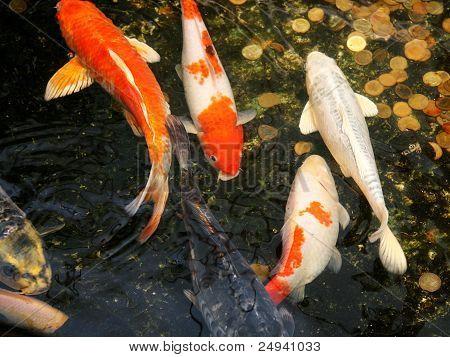 Koi Carp fish (Cyprinidae)