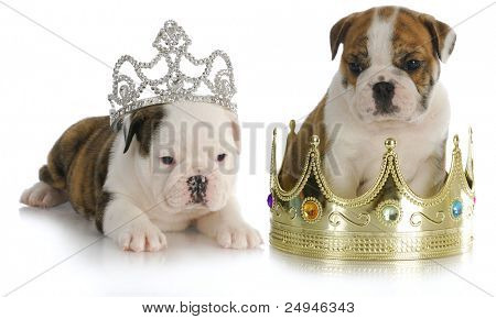spoiled puppies - english bulldog puppies with crown and tiara on white background
