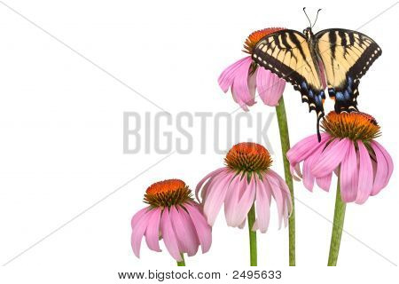 Swallowtail Background