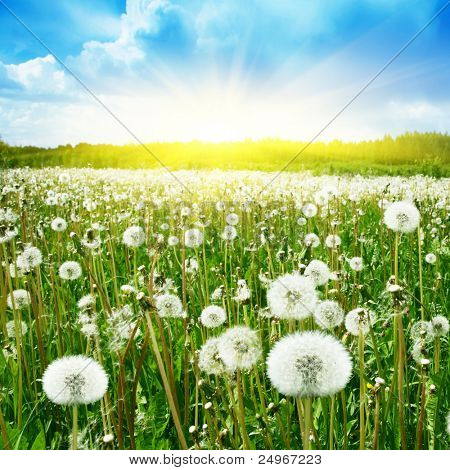 Field of dandelions,blue sky and sun.