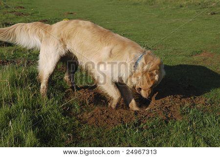 Golden Retriever Dog Digging Hole