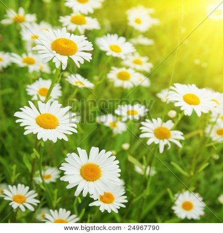Field of daisies and sun.