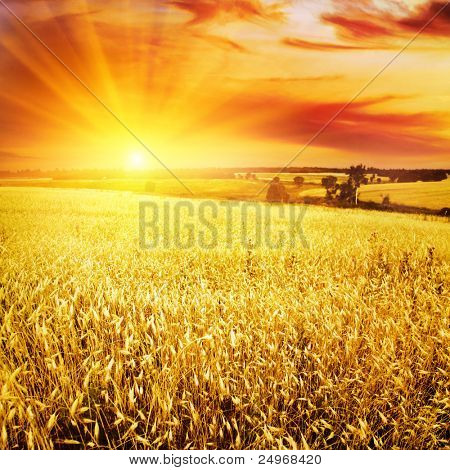 Wheat field at sunset.