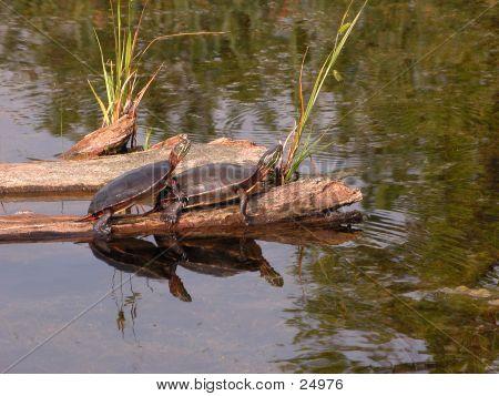 Turtle Pair Mating