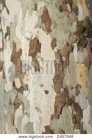 Beech Bark Tree Disease Camouflage Background