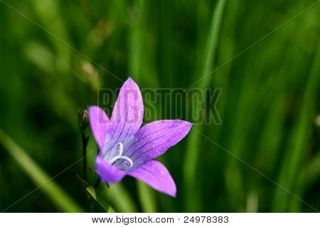 Lilac bell flower in green grass