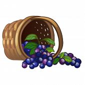 Wicker Basket With Spilled Blueberries Isolated On White Background. Vector Cartoon Close-up Illustr poster