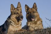 picture of german shepherd dogs  - two Germany sheepdogs portrait on blue background - JPG