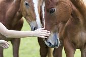 Close-up Of Young Woman Hand Caressing Beautiful Chestnut Horse Head On Blurred Green Sunny Summer B poster