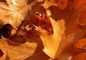 Closeup On Oak Leaves