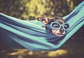 cute chihuahua in a hammock outside in the sun on a hot summer day toned with a retro vintage instag poster