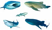 Collection Shark species isolated. Whale Shark, Leopard, Whitetip Reef and Grey Reef Sharks on white poster