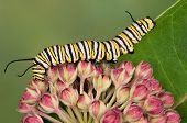 stock photo of monarch butterfly  - A monarch caterpillar is crawling over milkweed blossoms.