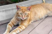 Homeless Tabby Red Cat With Yellow Eyes Resting At City Street. Striped Orange Wild Kitten Lying On  poster