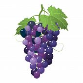 Hand Drawn Grapes Vector Illustration. A Big Bunch Of Grapes. Grapes Icon Isolated On White Backgrou poster