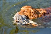 Nova Scotia Duck Toller Retriever Dog Outdoor Portrait Holding Duck And Retrieve It In Water. Close  poster