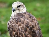 picture of merlin  - Merlin Falco columbarius close up - JPG