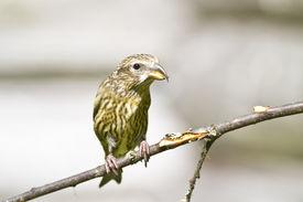 stock photo of crossbill  - Female Common Crossbill  - JPG