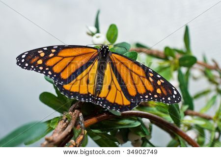 A Monarch Butterfly At Rest