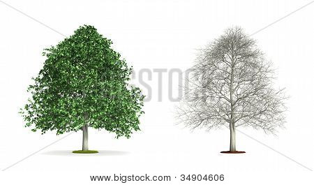 Hornbeam Tree.