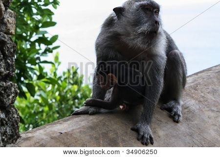 Monkey Mother With A Baby At Uluwatu Temple In Bali, Indonesia
