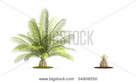 Oil Palms Tree.