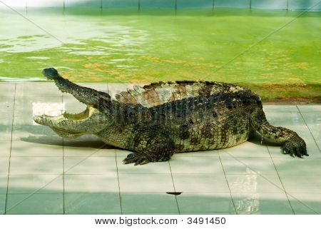 Crocodile Show In Action 2