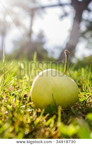 Apple in grass near tree
