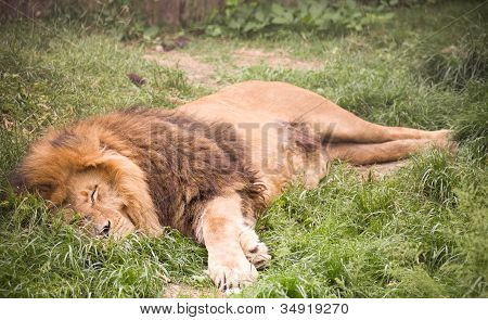 Young wild African lion lying on the green grass