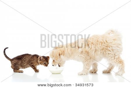 Buddies at the feeding bowl - little dog and cat eating, isolated