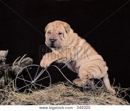 Sharpei Puppy On A Bike