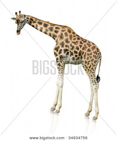 Portrait Of A Giraffe On White Background