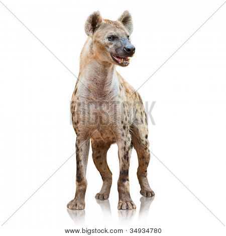 Portrait Of A Hyena On White Background