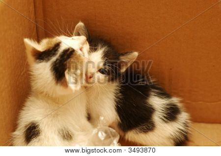 Two Kittens In Box