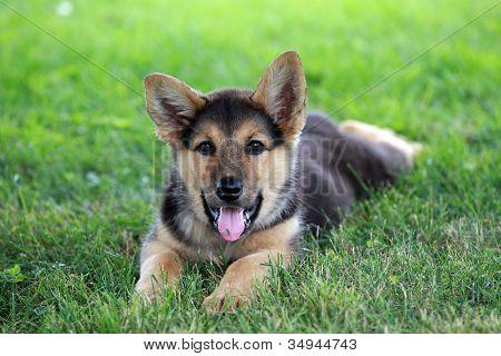German shepherd puppy resting