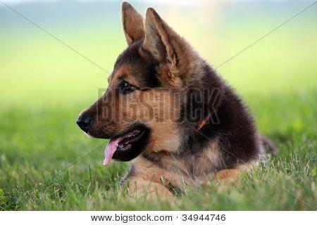 Close up of german shepherd puppy