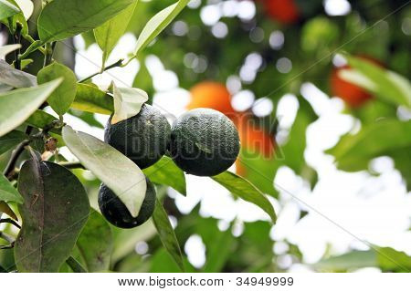 Young Unripe Oranges On The Orange Tree