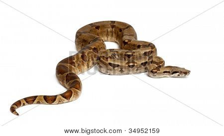 Common Northern Boa, Boa constrictor imperator, against white background