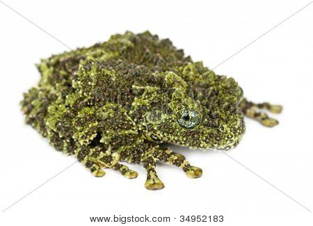 Mossy Frog, Theloderma corticale, also known as a Vietnamese Mossy Frog, or Tonkin Bug-eyed Frog, portrait against white background