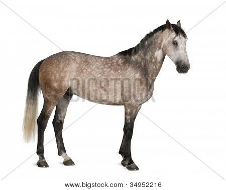 Belgian Warmblood horse, 6 years old, standing against white background